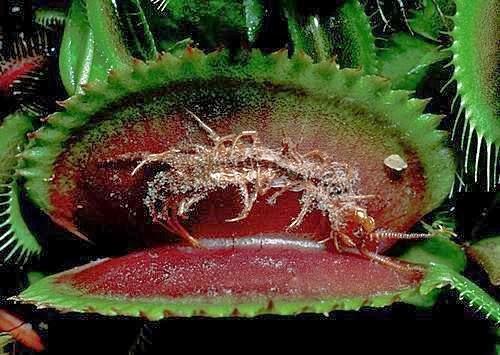 捕蠅草【食蟲植物】 - 鋤頭與筆的對話